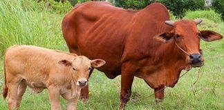 Giải mã giấc mơ thấy bò hoặc bị bò húc