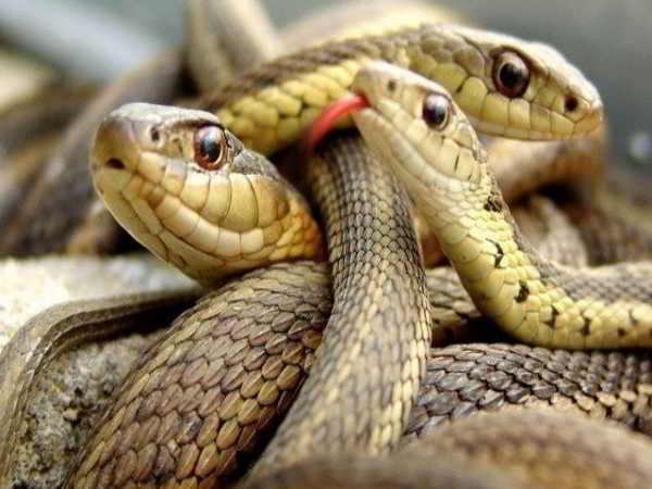 Mơ thấy nhiều rắn là tốt hay xấu
