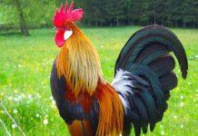 Giải mã giấc mơ thấy gà