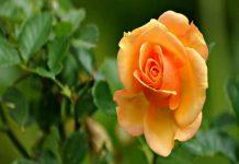 Lý giải giấc mơ thấy bông hoa và số đề liên quan