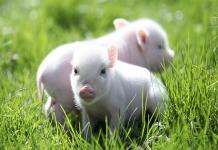 Giải mã ý nghĩa giấc mơ thấy lợn chi tiết nhất