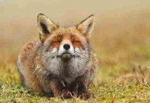 Tìm hiểu giấc mơ thấy con cáo và những số đề may mắn