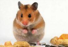 Giải mã giấc mơ con chuột có ý nghĩa như thế nào