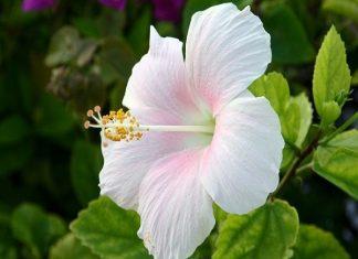 Mơ thấy hoa dâm bụt điềm lành hay điềm giữ