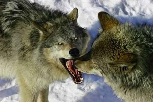Nằm mơ thấy con chó sói đánh số mấy chắc ăn nhất