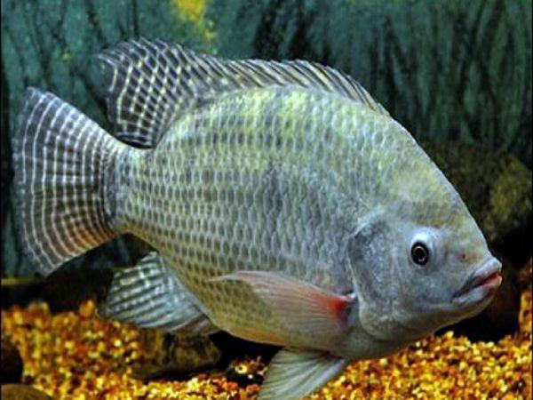 Nằm mơ thấy cá rô đánh con gì? Điềm báo lành hay dữ